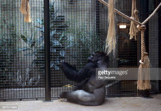 A gorilla sits in the Lincoln Park Zoo exhibit Chicago Illinois 1980s