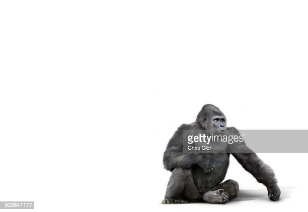 gorilla sitting in studio - primate stock pictures, royalty-free photos & images