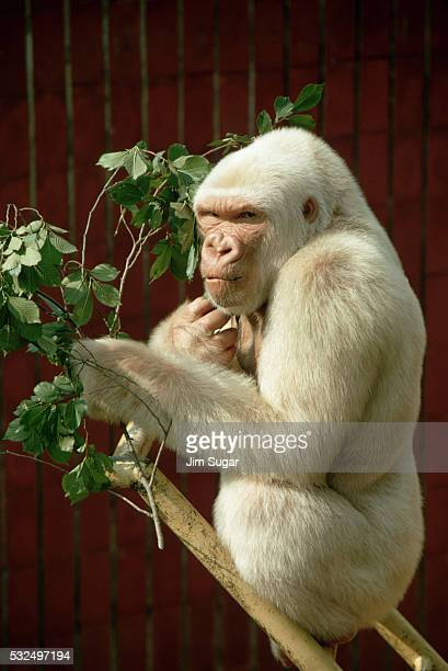 Gorilla Sitting on Bamboo Ladder