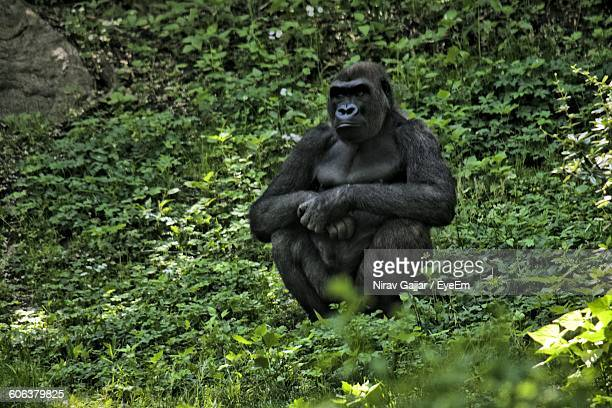 Gorilla Sitting On Field In Forest
