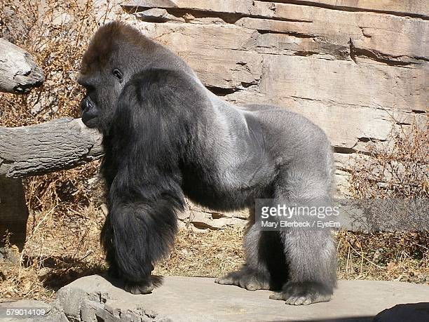 Gorilla Standing On Rock