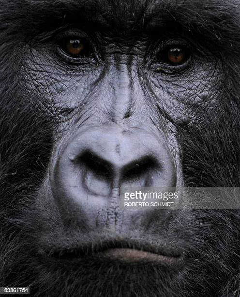 Gorilla stares while sitting in a clearing on the slopes of Mount Mikeno in the Virunga National Park on November 28, 2008. The park is home to 200...
