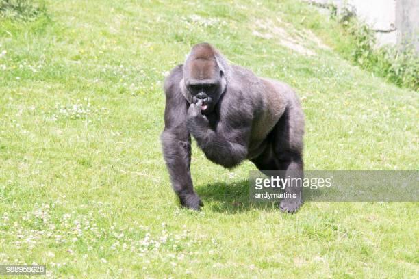 gorilla touching nose - 動物の雄 ストックフォトと画像
