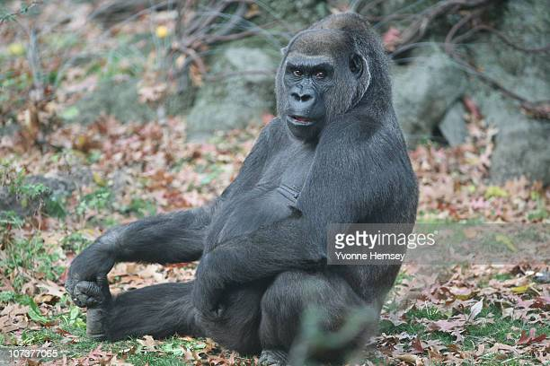 Gorilla Trinska sits at the Bronx Zoo's Congo Gorilla Forest Exhibit November 24 2010 in the Bronx borough of New York City