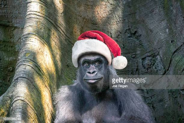 gorilla wearing a santa hat. - funny christmas stock photos and pictures
