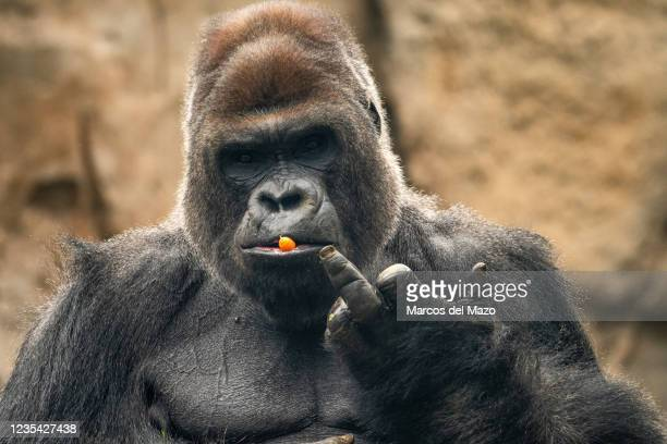 Gorilla with a carrot in its mouth making a funny gesture with its middle finger, pictured in its enclosure in the Madrid Zoo Aquarium.