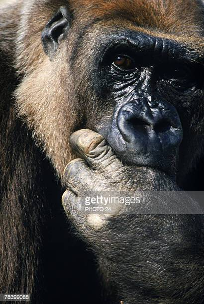 Gorilla with hand in mouth