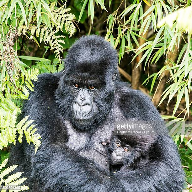 Gorilla With Infant In Forest