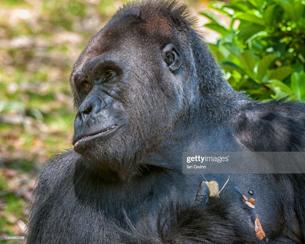 Gorilla_1 : Stock Photo