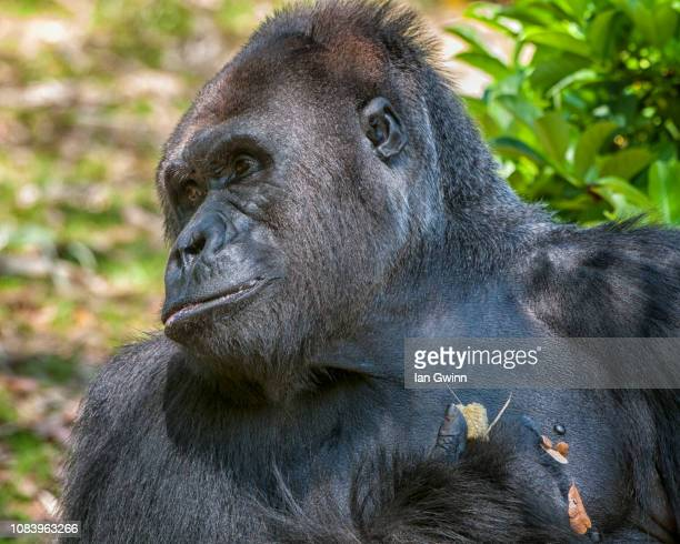 gorilla_1 - ian gwinn stock photos and pictures