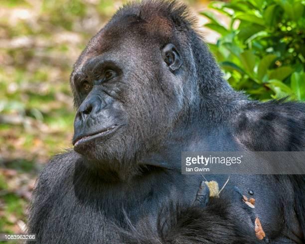 gorilla_1 - ian gwinn ストックフォトと画像
