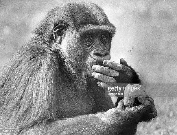 Gorilladame 'Mpenzi' aus dem Berliner Zoo. - August 1989