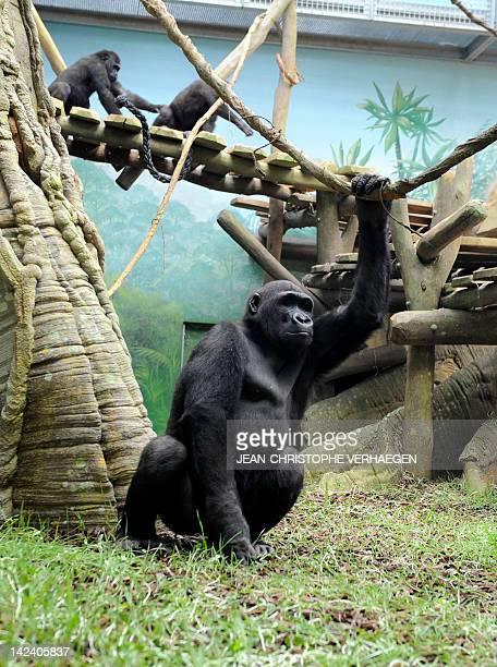 Gorillas are seen in the enclosure 'Gorilla's Camp' at the Amneville zoo eastern France on April 04 2012 Ya Kwanza a silverback gorilla male also...