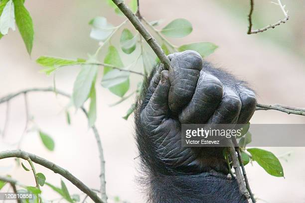gorillas hand - gorilla hand stock photos and pictures