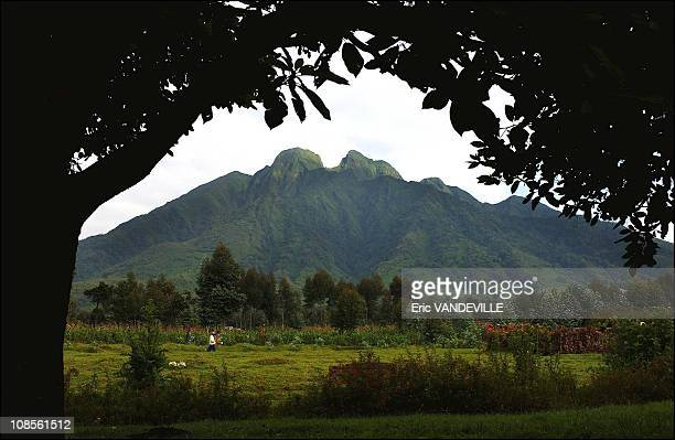 Gorillas have become an immense source of income for the country since they are the main tourist attraction of Rwanda. Every year, thousands of...