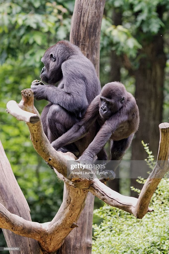 Gorillas On Bare Tree In Forest : Stock Photo