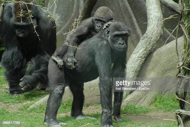 gorillas on field at bronx zoo - bronx zoo stock pictures, royalty-free photos & images