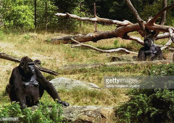 Gorillas Sitting On Grassland