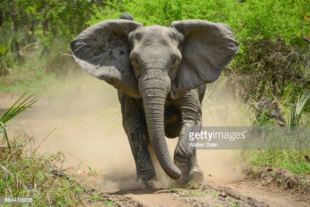 gorongosa's elephant # 01 - african elephant stock photos and pictures