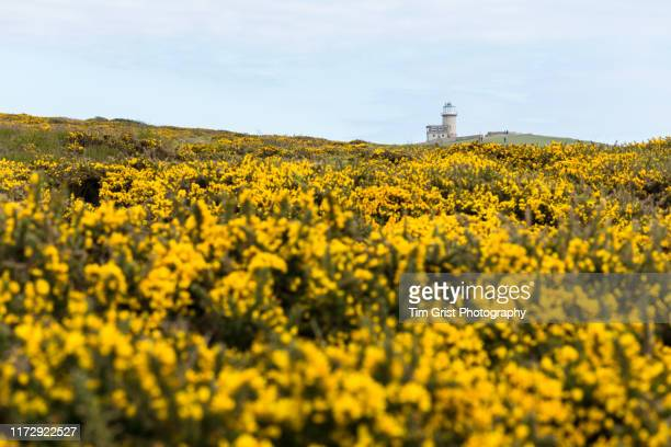 gorse bushes and belle tout lighthouse, east sussex, uk - belle tout lighthouse stock photos and pictures