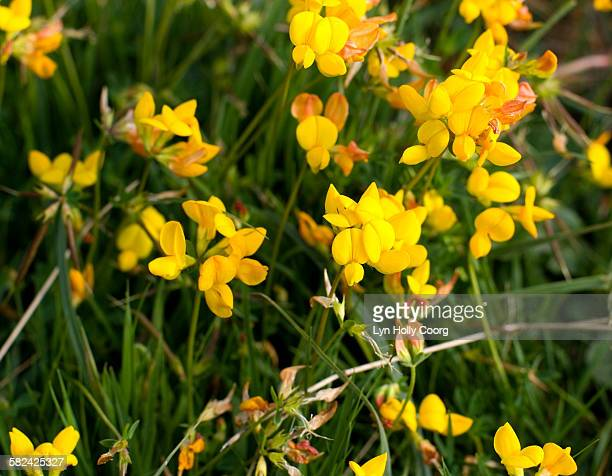 gorse flowers - lyn holly coorg stock photos and pictures