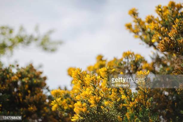 gorse in a hedgerow - uncultivated stock pictures, royalty-free photos & images