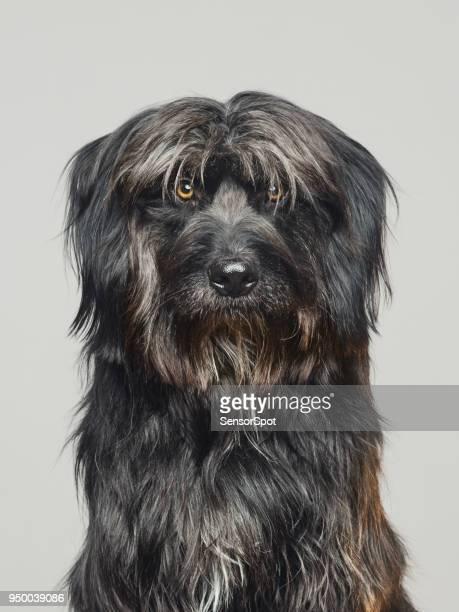 Gos d'atura dog studio portrait looking at camera