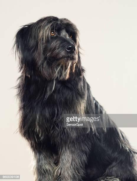 Gos d'atura dog studio portrait looking away