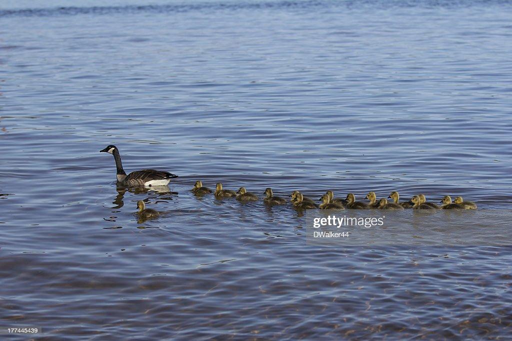 Goselings Swimming in a Row