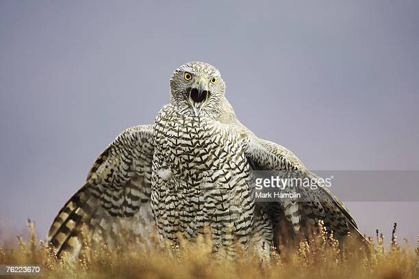 goshawk, accipiter gentilis, adult calling and mantling prey on moorland, scotland, captive-bred bird - goshawk stock photos and pictures