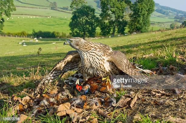 goshawk, accipiter gentilis, adult on pheasant prey, uk - goshawk stock photos and pictures