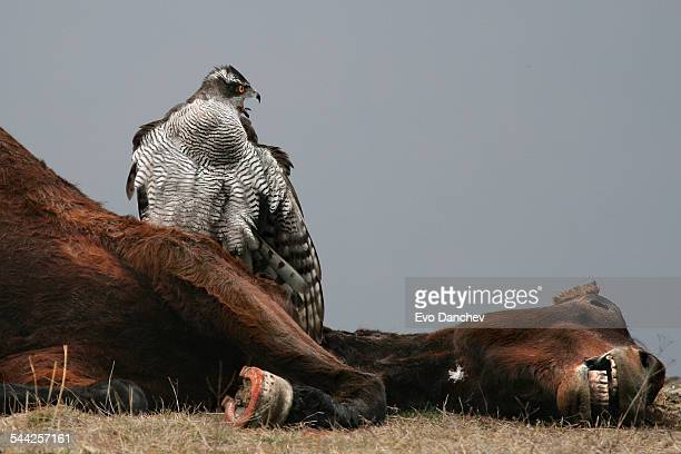 goshawk scavanging on a dead horse - goshawk stock photos and pictures