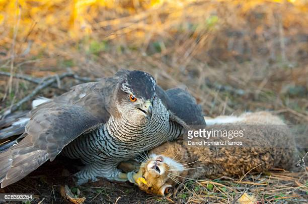 goshawk with a  dead rabbit after hunting. azor / northern goshawk. accipiter gentilis - goshawk stock photos and pictures