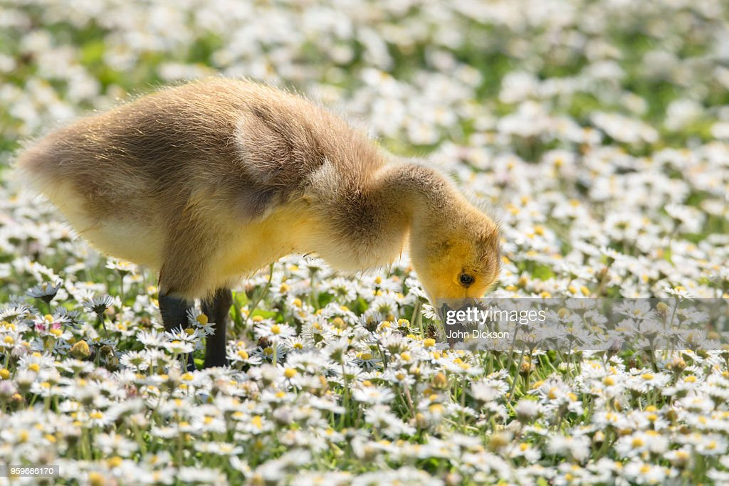 Gosling and Daisies : Stock-Foto