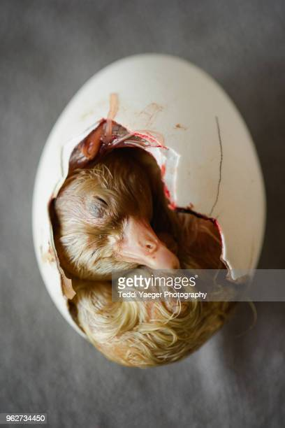 gosling hatching from egg - hatching stock photos and pictures