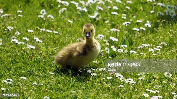 Gosling on a meadow
