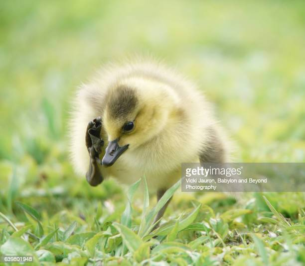 Gosling (Branta Canadensis) with Foot to Ear