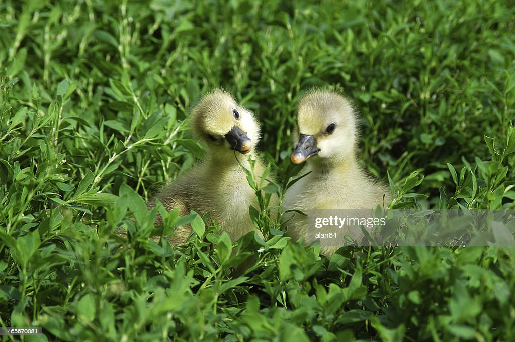 Goslings in the grass