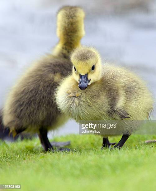 Goslings Seen In Stave Hill Ecological Park Rotherhithe London