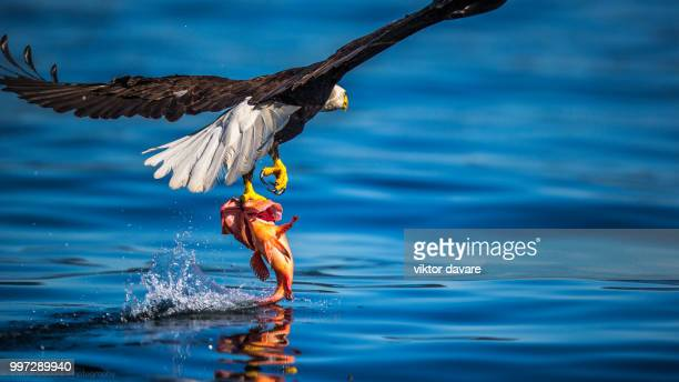 got it - animals hunting stock pictures, royalty-free photos & images