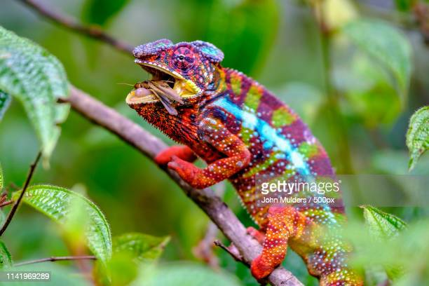 got you! - east african chameleon stock pictures, royalty-free photos & images