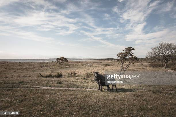 Gotland Sheep in rough landscape at the coast