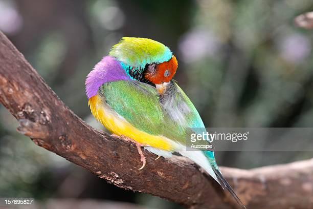 Gouldian finch preening Western Australia