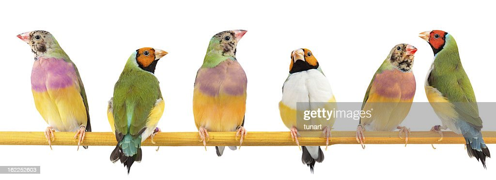 Gouldian Finches : Stock Photo