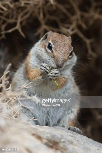 Gound squirrel eat