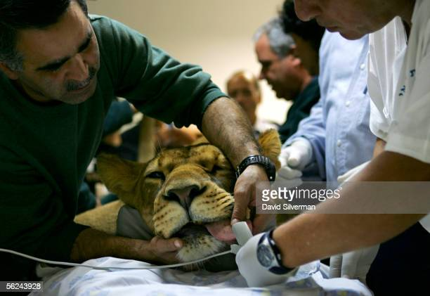 Gov, a 2 1/2-year-old African lioness, lies sedated on the table as she is readied for her a CAT scan, usually reserved for humans, November 21, 2005...