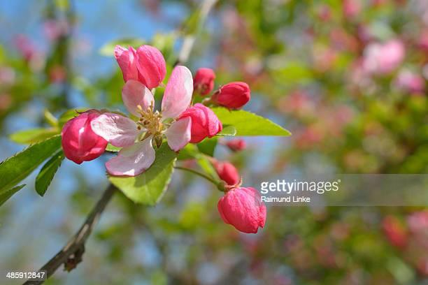 Grab Appel Tree Blossom
