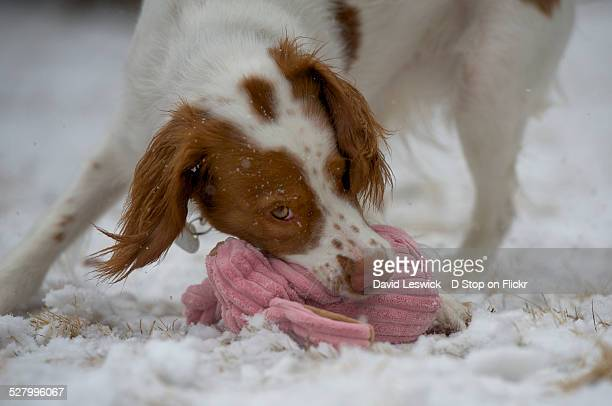 grabbing the bunny - brittany spaniel stock pictures, royalty-free photos & images