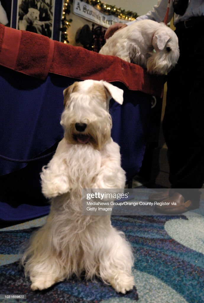 BEACH Grace A Sealyham Terrier Does Trick While Her Half Sister