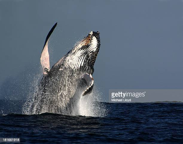 CONTENT] Graceful and magnificent humpback whales inspire awe in young and old alike These gentle giants are celebrated for their singing abilities...